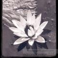 Blanc lotus Noire eau Ying yang presque équilibre Harmonie juste ?